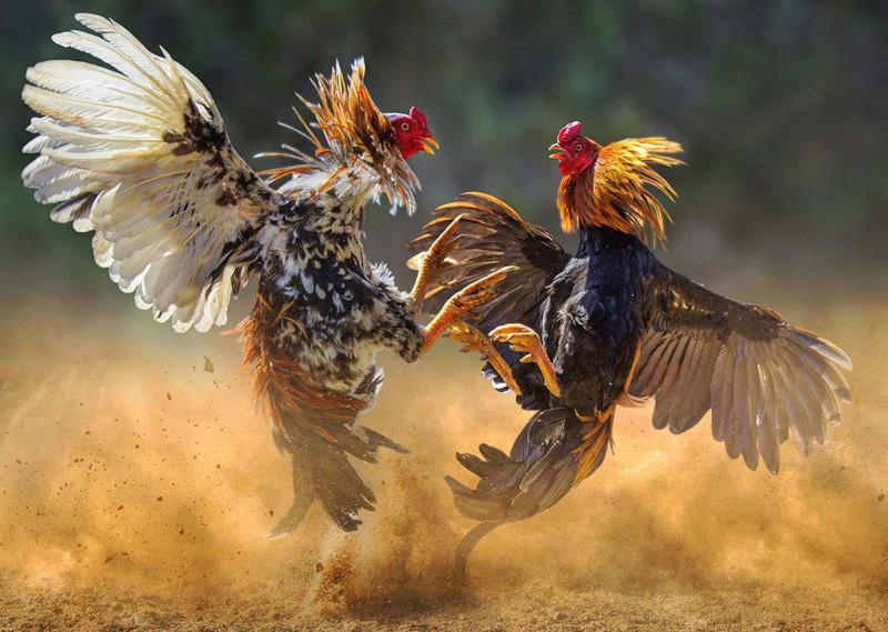 Jenis Taruhan Sabung Ayam Di Situs S128 Online